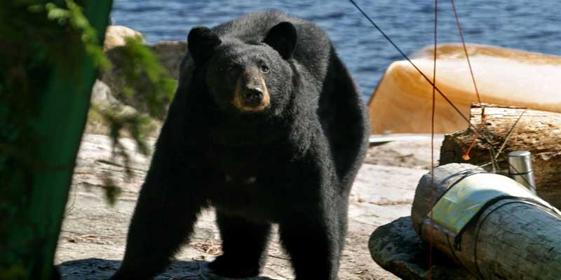 How To Keep Bears Away From Your Campsite?